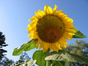 One of my sunflowers from last year.